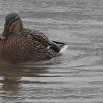 Bohinj, les canards du lac1801011131 thumbnail