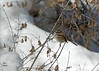 9771 White-throated Sparrow (vtbirdhouses) Tags: whitethroatedsparrow