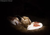 crabe porcelaine (chevalbenjamin) Tags: philippines visayas bohol underwaterphotography underwater scubadiving dive crabeporcelaine plongéesousmarine plongée macro seaocean