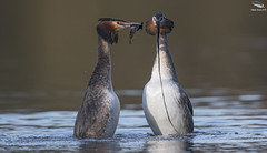 Great Crested Grebe Courtship (Weed Dance) (Mick Erwin) Tags: great crested grebe courtship weed dance nikon afs 600mm f4e fl ed vr lens tc14e teleconverter iii d850 mick erwin stoke trent staffordshire wildlife nature