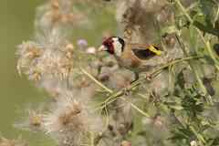 Cardellino ambientato (Ricky_71) Tags: european goldfinch cardellino summer nikon