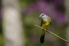 Suiriri (Tyrannus melancholicus) Tropical Kingbird (Eden Fontes) Tags: riodejaneiro aves suiriri tropicalkingbird birds jb rj jbrj jardimbotânico tyrannusmelancholicus