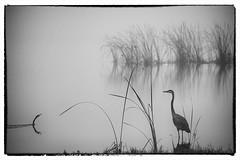 Morning Gratitude (Beth Reynolds) Tags: lake fog birds heron reeds morning water florida peaceful calm cormorant