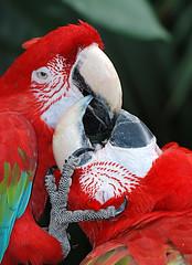 Kiss (rvtn) Tags: kiss red birds bird zoo two pair macaw redandgreenmacaw