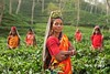 working-person-people-woman-farm-tea - Must Link to https://coffee-channel.com (Coffee-Channel.com) Tags: working person people woman farm tea flower looking red harvest jungle autumn colorful agriculture farmland plants fields arms plantation folded india clothes traditional dignified plantage
