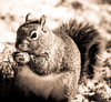 Backyard Squirrel (charlie_guttendorf) Tags: guttendorf nikon nikond7000 squirrel centralpa nature naturephotography nikon300mm outdoorphotography outdoors outside snow wildlife winter blackandwhite blackandwhitephotography