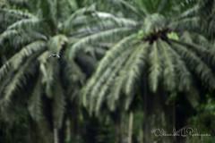 UPD - Unidade de Pesquisa de Ubatuba (Olhar do Panda) Tags: passaros birdwatching ubatuba observação de udp observacao bird