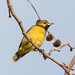 Orchard Oriole (Immature Male) (Jeff Bray) Tags: