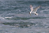 Crested Tern fishing (Mikey Down Under) Tags: bulli crested flying illawarra nsw sandonpoint southcoast tern