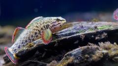 Redline Darter #3 (PhillipsVonNoog) Tags: tennessee aquarium biology freshwater water fish redline red line darter animal animals wildlife etheostoma rufilineatum d5300 dslr nikon
