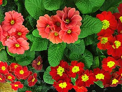 #Primelchen #Primula (RenateEurope) Tags: 2018 renateeurope iphoneography orange red primula flowers flora awesomeblossoms