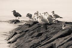 Gulls (mattbpics) Tags: rocks gulls birds nature shoe beach canon 70d tamron 150600 150600mm longbeach stratford bw blackandwhite