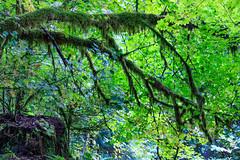 171011_145520_AB_1707 (aud.watson) Tags: canada britishcolumbia squamishlillooetregionaldistrict seatoskyhwy route99 squamish brackendale alicelakeprovincialpark alicelake temperaterainforest forest wood tree trees moss ca maple mapleleaf mapleleaves