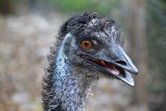 Emu (Dromaius novaehollandiae) (Seventh Heaven Photography) Tags: emu dromaius novaehollandiae bird animal aves flightless closeup bokeh nikond3200 wildlife healesville sanctuary victoria australia casuariidae casuariformes