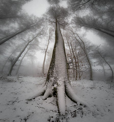 Riesen im Nebel (Nature_77) Tags: natur nature wald forest winter schnee snow rheinlandpfalz gopro weitwinkel verzerrung hiking wandern baum bäume wurzel nebel fog sky dunst fagussylvatica buchenwald buchenhain trees greatphotographers