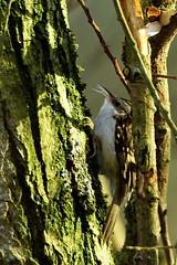 _DSC0443 - Treecreeper (steve R J) Tags: treecreeper south hanningfield reservoir ewt reserve essex birds british