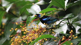 Golden-hooded Tanager / Calliste à coiffe d'or /Tangara larvata
