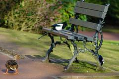 Park bench snack - magpies, West Park (Dave_A_2007) Tags: anasplatyrhynchos corvidae picapica bird crow duck magpie mallard nature wildlife wolverhampton westmidlands england