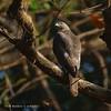 Shikra. (MCSindagi) Tags: shikra sony sonyindia birds predatory predators sonyrx10iv sonyrx10mkiv sonyrx10m4 rx10iv rx10m4 rx10 bengaluru bangalore karnataka india manojsindagi snapseed