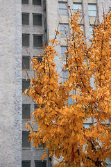 Yellow Leaves, Grey Building (JB by the Sea) Tags: sanfrancisco california december2017 urban financialdistrict sanfranciscomuseumofmodernart sfmoma tree trees