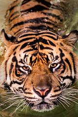 Swimming Tiger 3-0 F LR 8-13-17 J129 (sunspotimages) Tags: tigers tiger wildlife nature cat bigcats bigcat cats