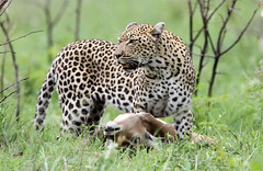 Panthera pardus ♀ (Leopard) - South Africa (Nick Dean1) Tags: pantherapardus leopard bigcat animalia animal chordata southafrica krugernationalpark predator