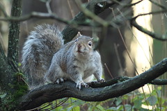 Grey Squirrel (Steve Dawson.) Tags: grey squirrel rodent wildlife nature centerparcs nottinghamshire england uk cannoneos50d canon eos 50d ef400mmf56lusm ef400mm f56l usm 15th february 2018