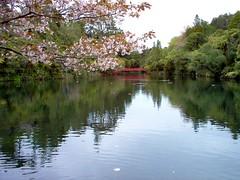 New Plymouth. Reflections on the lake in Brooklands Park and gardens. Cherry blossom and red bridge. (denisbin) Tags: newplymouth taranaki park lake agrden brooklandspark cherryblossoms reflections garden pukekura pukepurapark bridge redbridge treeferns