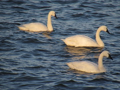 Swans in the late day sun (Love*is*All) Tags: swans tundraswans