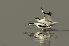 # Pied Avocets..............Mating display !! (Prem K Dev) Tags: pied action avocet mating display water wader white wonderful black bird beautiful lake lovely golden light sholinganallur sml subcontinent india chennai colourful