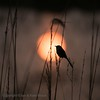 Sunset on the Indian Marshes... (Ian.Kate.Bruce's Wildlife) Tags: jungleprinia junglewrenwarbler priniasylvatica cisticolidae bird birds wildlife nature ianbruce katebruce harayanasbirdparadise sultanpurnationalpark harayana india