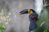Tucano-de-bico-preto (Ramphastos vitellinus) Channel-billed Toucan (Eden Fontes) Tags: riodejaneiro channelbilledtoucan aves birds jb tucanodebicopreto rj jbrj jardimbotânico ramphastosvitellinus