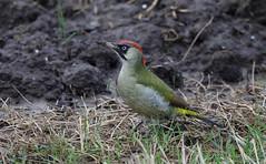 Green Woodpecker - Groene Specht - Picus viridis -3422 (Theo Locher) Tags: greenwoodpecker groenespecht grünspecht picvert picusviridis birds vogels vögel oiseaux netherlands nederland copyrighttheolocher
