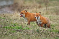 Pair of Red Foxes 94754 (wildlifetog) Tags: ramsarsite red renard renardroux fox herseynaturereserve southeast seaview isleofwight uk mbiow marsh blackmore britishisles britain england european eos7dmkii canon nature wild wildlifeeurope wildlife foxes pair