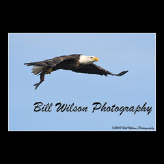 bald eagle flight (wildlifephotonj) Tags: baldeagle baldeagles eagle eagles raptor raptors wildlifephotography wildlife nature naturephotography wildlifephotos naturephotos natureprints birds bird