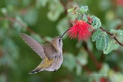 Your Guess Is As Good As Mine (VankoVision) Tags: vankovision nature birds hummingbird arizona tucson feeding