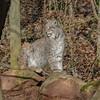 WILDPARK TRIPSDRILL (rentmam1) Tags: wildpark tripsdrill cat katze luchs