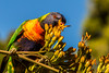 The very hungry parrot (dmunro100) Tags: parrot rainbowlorikeet summer adelaide southaustralia
