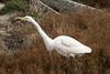 DSC_8701.jpg Great Egret, Moss Landing (ldjaffe) Tags: mosslanding northjettyrd greategrets