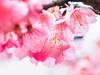 寒櫻 (紅襪熊(・ᴥ・)) Tags: olympus omd em1 m43 micro43 microfourthirds olympusem1 sakura 櫻 櫻花 cherryblossoms pink flower flowers blossom blossoms cherry cherryblossom cherryblossomfestival cherrytree cherrytrees garden macro nature park plant sky spring travel tree trees white さくら サクラ 春 桜 花 花見 賞櫻 粉 粉紅 bokeh 平菁街 陽明山平等里 寒櫻 sigma 150mm sigma150mmmacro apo f28 sigmaapomacro150mmf28 sigmamacro150mmf28 150mmf28 sigma150mmf28