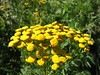 Tansy flowerheads (Philip_Goddard) Tags: tansy tanacetum compositae asteraceae wildflowers floweringplants flowers plants yellow southwestengland england unitedkingdom britain british britishisles greatbritain uk europe