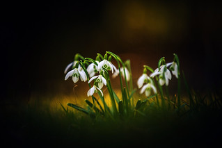 Pack of Snowdrops