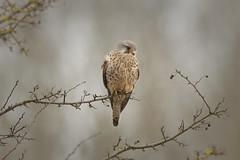 Common Kestrel looking for breakfast (Chris Bainbridge1) Tags: falco tinnunculus common kestrel cambridgeshire perched