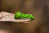 Friendly Visitor (james.froumis) Tags: hawaii d750 nikon kauai macro green caterpillar kauaibatch2