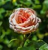 rose cv - sunlit (Russell Scott Images) Tags: apricot flowering rose hybrid cultivar victoriastaterosegarden werribeepark australia sunlit russellscottimages