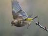 La partenza del Verdone (Danilo Agnaioli) Tags: umbria italia collinedelperugino verdone bird uccelli passeriformi inverno colori giallo verde canon7dmarkii