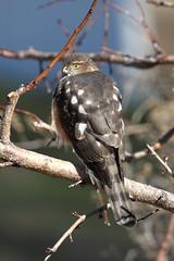 Juvenile Sharp-shinned Hawk (jlcummins - Washington State) Tags: bird raptor hawk sharpshinnedhawk yakimacounty washingtonstate home backyardbirds canon tamronsp150600mmf563divcusd