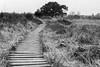 log paved path - Bohlenweg (meine.augenblicke) Tags: hohesvenn trees 2017 nordrheinwestfalen wallonie kameranikond750 wege logpavedpathes urlaub belgien bäume ways bohlenweg moorlandschaft sw blackandwhite