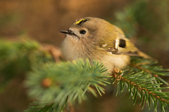 Common Goldcrest Regulus regulus (janmangorfagerland) Tags: animal birds bird birdphoto birdsgallery bokeh birding birdsofnorway birdswildlifenaturenikon300mmvrii2 d800e 300mm fagerland field fugler flickr fuglebilder gallery photography photo islands nikon wildlife jan janfagerland karmøy skog landscape planet mangor norway nature norge natur outdoor ornithology supertele fuglekonge