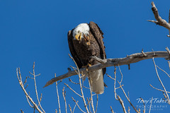 Bald Eagle scratching